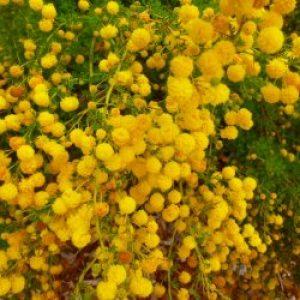 acacia_lasiocarpa