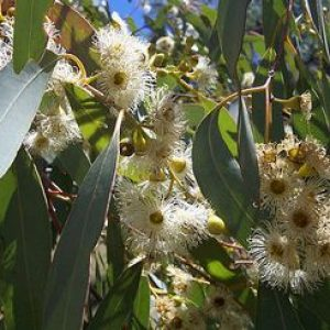 eucalyptus_megacarpa